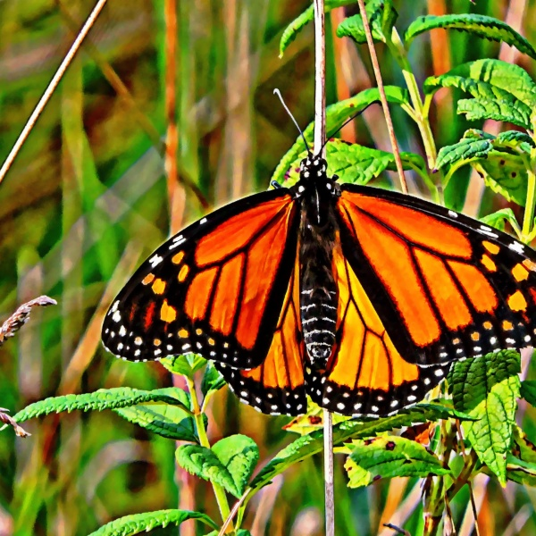 monarch-butterfly-painting_1497980726874.jpg