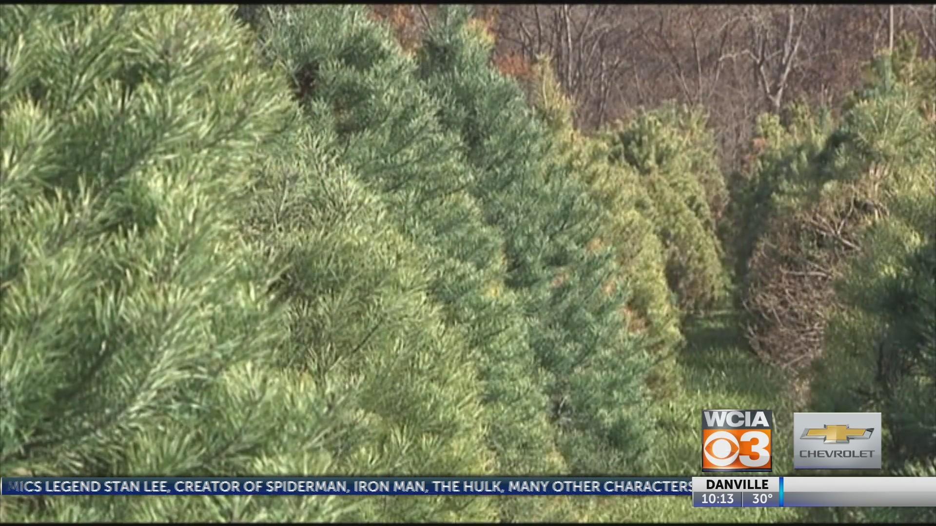 Christmas Tree Shortage.Christmas Tree Shortage At Farm
