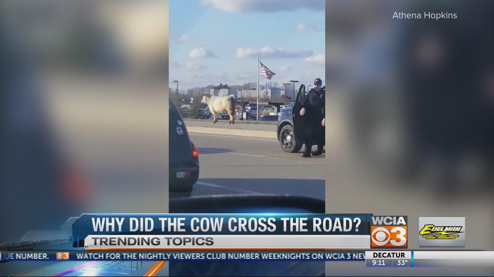 Cow trending