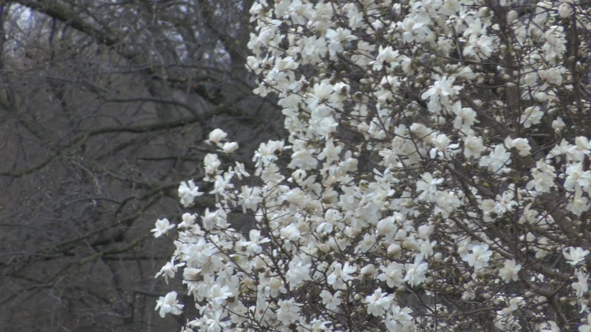 cherry blossoms_1554931627854.jpg.jpg