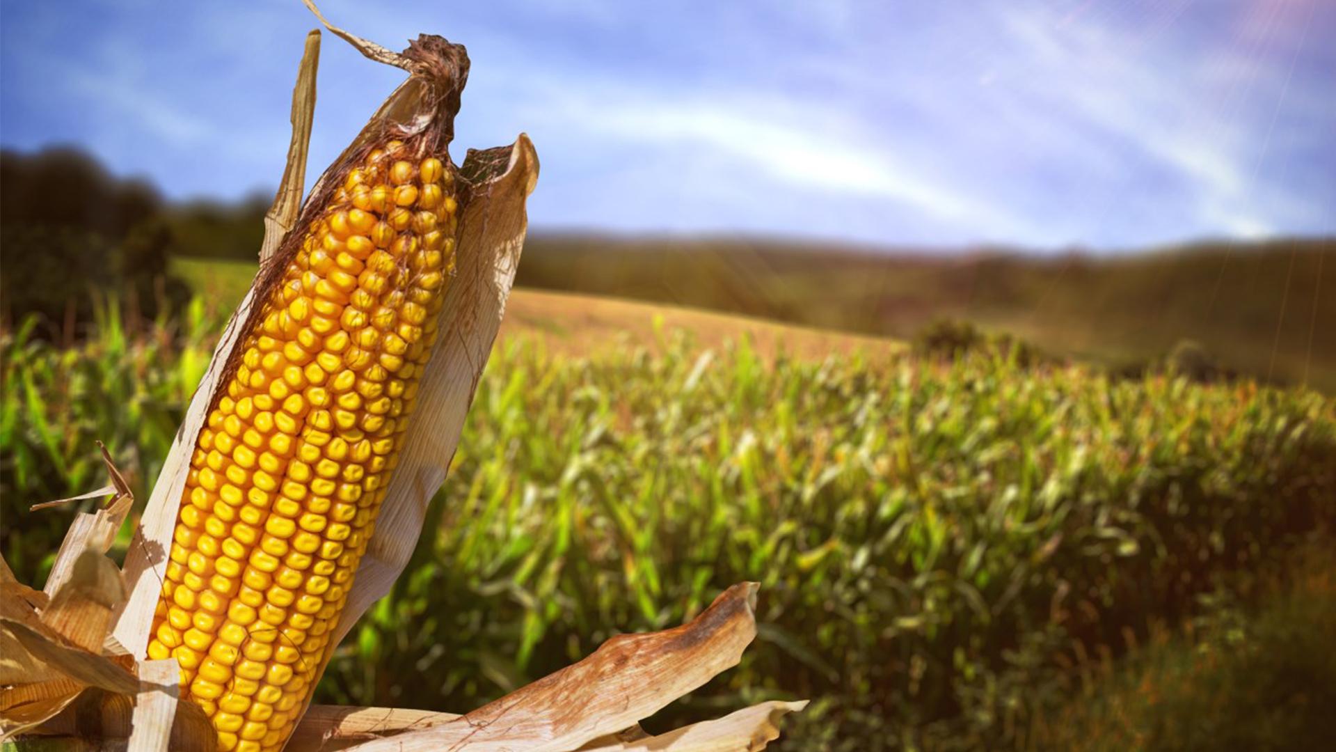corn crop_1558731011737.jpg.jpg